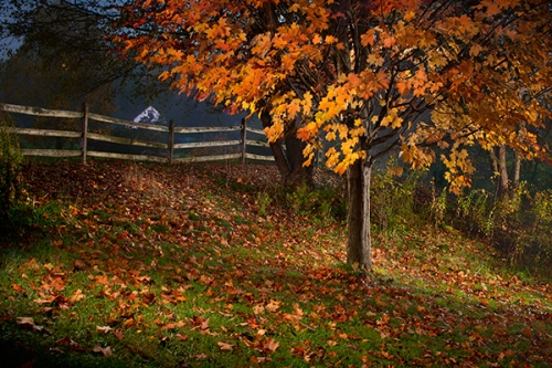 Maple tree and fence
