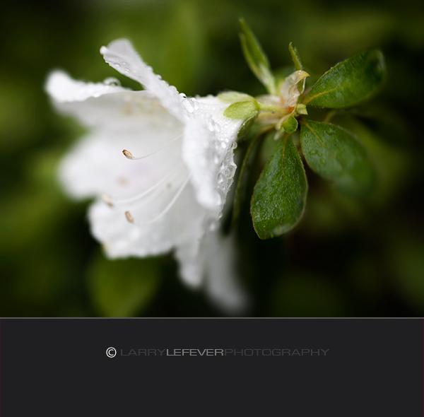 White Azalea blossom