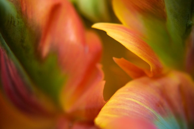 Tulip Abstract